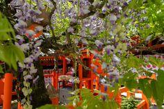 "https://flic.kr/p/GDZ94W | Wisteria at Kasuga Taisha, A World Heritage site, Nara! | Taga Jinja (多賀神社) is in a far corner of Kasuga Taisha (春日大社), a ""World Heritage"" site in Nara. The red vermillion colours of the shrine and the subtle shades of white, pink, violet and blue flowers of the wisteria (藤) that drape this shrine, or sublime. The deity of Taga Jinja (Izanagi Inochi-sama - 伊弉諾命様), in the Northwest corner Kasuga Taisha (春日大社), surrounded by cloisters, is worshiped as a god who…"