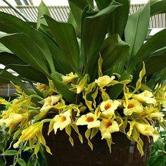 Trichopilia tortilis x turialbae  orchids
