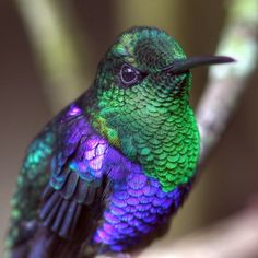 Green-crowned Woodnymph