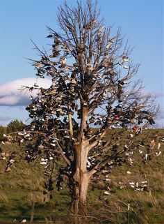 Shoe tree Shaniko, OR. A landmark of sorts outside of Shaniko.on hwy 97. Vandals destroyed a few years ago