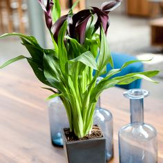 calla on pinterest zantedeschia plants and plants indoor. Black Bedroom Furniture Sets. Home Design Ideas