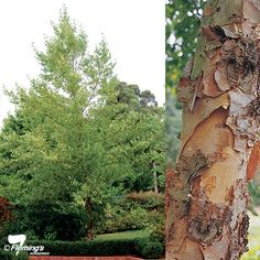 "Betula Nigra 'Cully"" fast growth good ornamental bark"