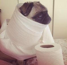 Tumblr. Mummy pug.