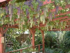 growing grapes on pergola with overhead trellis