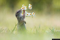 Dieses Foto entstand im #Sommer in einem Weingarten, es zeigt ein junges #Ziesel beim beschnuppern von #Blüten. Die europäischen Ziesel sind vom aussterben bedroht und stehen auch auf der roten Liste der gefährdeten Tierarten. © Blende, Julian Ghahreman Rad, Schnupper, Schnupper