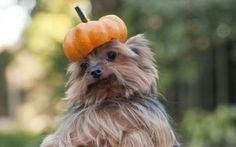 We couldn't stop laughing when we saw this funny picture of a miniature Yorkshire Terrier with a pumpkin lid on his head.