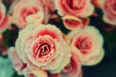 flower rose beautiful