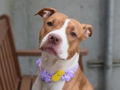 SAFE - 07/24/16 - JAZZY aka SPRING - #A1056850 - Super Urgent Brooklyn - **RETURNED 04/05/16** - SPAYED FEMALE TAN/WHITE PIT BULL MIX, 2 Yrs 6 MOS - ETURN - EVALUATE, HOLD RELEASED Reason PETS CONFLICT - Due Out 04/08/16