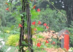 ipomoea multifida cardinal climber - attracts hummingbirds. May cover the back fence with this next spring