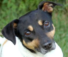 Lindy is an adoptable Beagle Dog in Madison, IN. 'LINDY'--Beagle mix 1-2 years Female I'm a pretty tri-color girl with a mostly white body and dark head. I'm just small girl and I'd love to crawl up i...