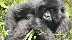 Safari in Bwindi Impenetrable National Park, Uganda. Come up close with the majestic gorillas. Uganda, Animals Beautiful, Backpacking, Safari, National Parks, Wildlife, Pictures, Travel, Africa