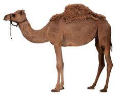 camel | Плейкаст «40 лет по пустыне...»
