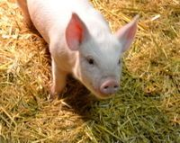 Demand That South Carolina School District Never Again Use Live Animals for Pep Rally Games  Tell Dr Petersen, Superintendent of schools that he caused the abuse of a baby pig for entertainment This is not what we should be teaching our children. His apology is not enough! Please sign this!  Charlotte the baby pig has been evaluated by a Vet and outside of soft tissue damage, she's ok. She's in a sanctuary now.