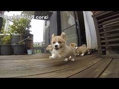 Cute corgi puppies part 4 ears flap slow motion / コーギー 子犬 スローモーション 20130713 - YouTube