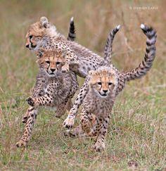 Cheetah Run...Maasai Mara, Kenya