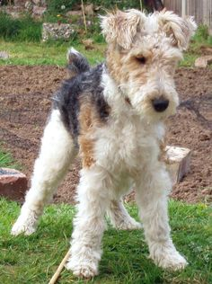 Pluto , wire haired fox terrier aged 8 months by sherbut_dip, via Flickr