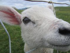 Very curious little lamb in a meadow in the UK.