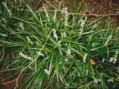 Monroe White Liriope (shade)