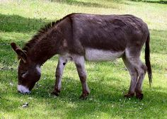 Donkey (ass): Equus africanus asinus: domesticated member of Equidae or horse family, Order: Perissodactyla; wild ancestor is the African wild ass; used as a working animal for at least 5000 years Work With Animals, Live Animals, Farm Animals, Unique Animals, Shiloh, Burritos, Donkey Images, Donkey Donkey, Funny Animals