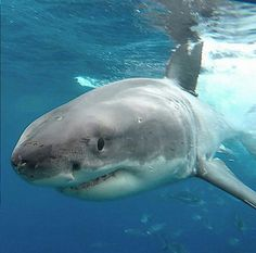 Planeta Animal, Animals Planet, Beautiful Sea Creatures, Stingrays, Great White Shark, Marine Biology, Deep Water, Shark Week, Sharks