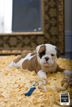 Bulldog puppy he is soooo sweet we need one! I love you sooooooo much baby