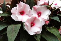 Impatiens makes a strong impression, but it can be expensive to buy numerous plants from a garden center. Growing impatiens from seeds is the best way to keep down the cost. Learn more in this article.