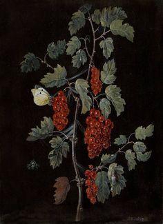 """Red currant with small white butterfly' gouache on vellum. Johann Siegmund Dietzsch (German artist, 1707-1775)"