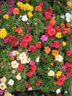JARDINERÍA online: VERDOLAGA DE FLOR, Portulaca grandiflora
