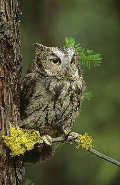 """A Western Screech Owl in Canada.  """"Owls"""""""