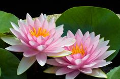 The lotus flower is considered a symbol of enlightenment. A lotus pond is an excellent feature in any garden and is extremely auspicious.