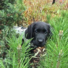 Happy Tuesday! Kivaa tiistaita!  Saanko esitellä meidän suvun uusimman vauvan - koiravauva Vilman. Tavattiin Vilma viikonloppuna Espoossa. Saadaan ehkä joskus hoitoon  May I introduce the newest baby in our family - dog baby Vilma! We met Vilma over the weekend in Espoo. She lives there. Kiitos @sinppu  #labradorinnoutaja #puppy #pentu #blackbaby #vierailu #visiting #espoo #sydäntensulattaja #rakkauttaensisilmäyksellä #heartbreaker #koira #dog #tuulaslife #lifestylebloggaaja…