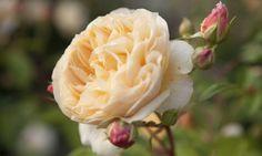 Rosa inglesa 'Grace'