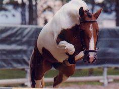 pottok pony | Pottok Pony bei einem Freisprung