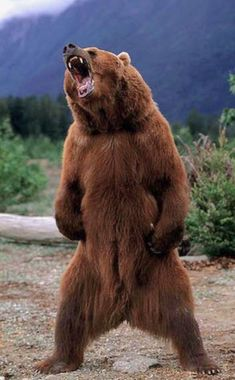 Kodiak brown bear (Ursus arctos middendorffi) threat display - the stuff of nightmares. When standing fully upright on its hind legs, a large male could reach a height of 3 m ft). Urso Bear, Animals And Pets, Cute Animals, Wild Animals, Baby Animals, Bear Pictures, Love Bear, Bear Art, Tier Fotos