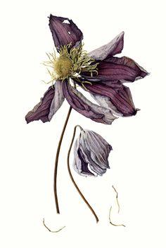 society for botanical illustration - Google Search