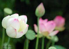 Lotus flowers - Laureenr Lotus Flower Images, Lotus Flowers, Rose Gift, Orchids, Bloom, Plants, Gifts, Presents, Lotus Blossoms