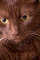 767 best havana brown cat images in 2019  brown cat