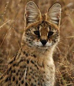 endangered Serval , lives in Algeria