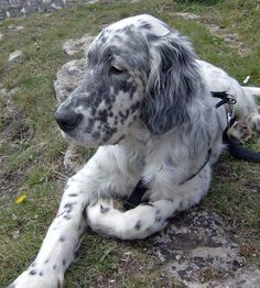 english setter | Boris the Blue English Setter | Dogs | Daily Puppy