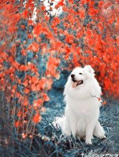 Beautiful Samoyed! I want this kind of dog so bad!!!
