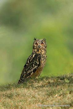 Indian Eagle Owl Mysour   India   Sep - 2015 © Krishnamurrthy