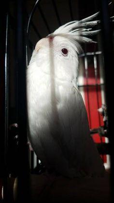 LOST COCKATIEL: 06/03/2017 - Druid Hills, Georgia, GA, United States. Ref#: L31019 - #ParrotAlert #LostBird #LostParrot #MissingBird #MissingParrot #LostCockatiel #MissingCockatiel