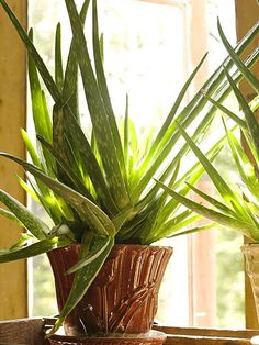 Medicine Plant (Aloe vera)  Allow the soil to dry out between soakings. Don't let the plant stand in water. Keep it in direct sunlight or the greatest amount of light possible. Fertilize three times in summer with a balanced 10-10-10 fertilizer; avoid fertilizing in winter. You don't need to repot unless the roots are obviously pushing their way out of a pot. If so, use a potting mix designed for cactus.