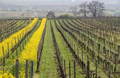 Beautiful spring in the Pfalz vineyards.