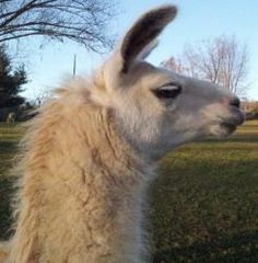 Heather is an adoptable Llama Llama in Acworth, GA. Heather - Female Llama DoB: 2002 Heather is a light to medium wooled animal. She is friendly but reserved. She will come for a treat and can be (rel...