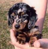 dappled dachsund baby...... I want one. So darn cute.