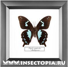 Бабочки, жуки и другие насекомые в рамках