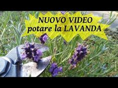 Natura è Bellezza - YouTube Lavender, Video, Youtube, Gardening, Growing Up, Lawn And Garden, Youtubers, Youtube Movies, Horticulture