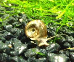 Aquarium snails for your freshwater planted tanks. Freshwater snails are a great addition to creating a nice healthy environment for your . Aquarium Snails, Planted Aquarium, Shrimp Tank, Healthy Environment, Aquariums, Fresh Water, Tanks, Popular, Eat
