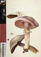 Botanische Staatssammlung München Artwork - Water Colours of Fungi by Fritz Wohlfarth